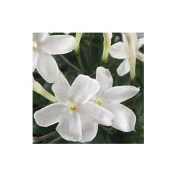Jasmin fleurs ADP