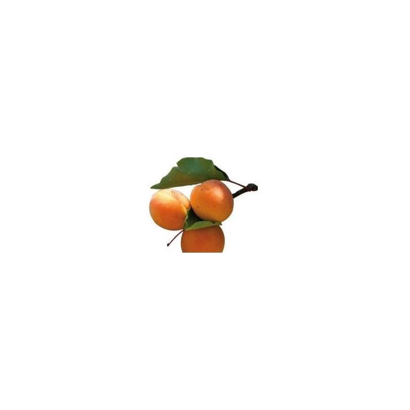 Huile v g tale de noyau d 39 abricot 50 ml bio comptoir aroma utiliser pure ou pour diluer les - Planter noyau d abricot ...